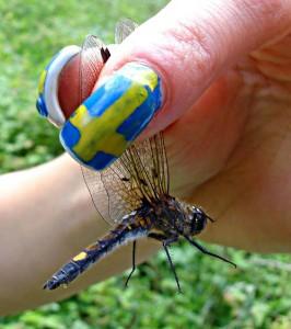 Så här håller man i en trollslända. Här en citronfläckad kärrtrollslända (med parasiten Forcypomyia paludis på vingarna).