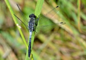 De egentliga trollsländorna är kraftigare och större än flicksländorna och har i viloläge vingarna utbredda.