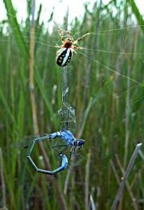 En smaragdflickslända (Lestes macrostigma) har fastnat i ett spindelnät.