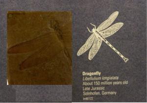 I förhistorisk tid var trollsländorna de största flygande insekterna någonsin, med vingspann på uppemot åtminstone 75 cm (inte den på bilden dock).