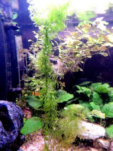 Akvarium med hornsärv Ceratophyllum demersum (slingan i mitten), sumpludwigia Ludwigia repens (små blad uppe till höger) och barteranubias Anubias barteri (stora gröna blad). Foto: Axel Wendel.