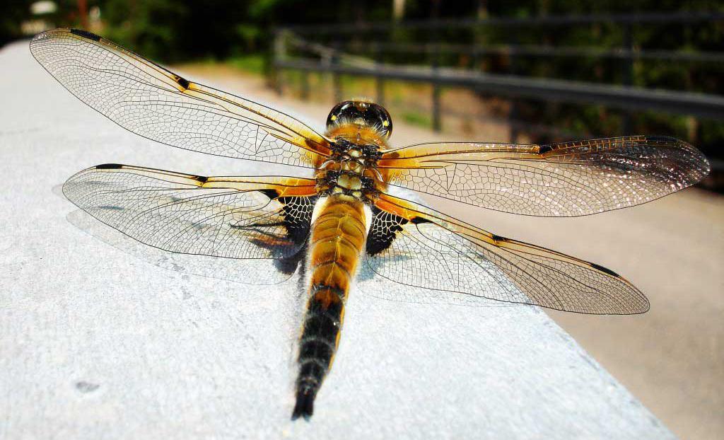 Trollsländor: insektsvärldens bevingade juveler @ Träff via Zoom